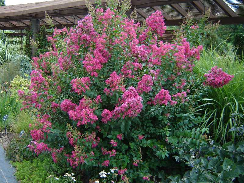Crape Myrtles Have An  Enjoyable Summer!