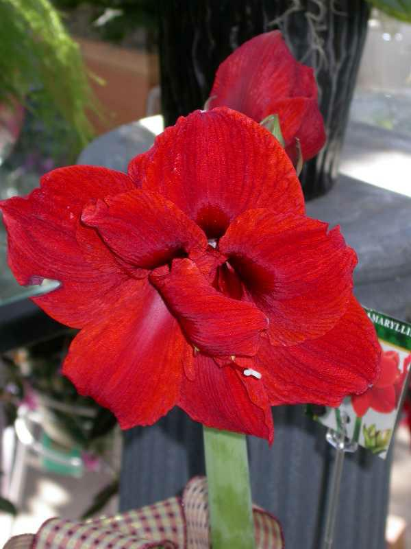 What Do I Do With My Amaryllis Now?