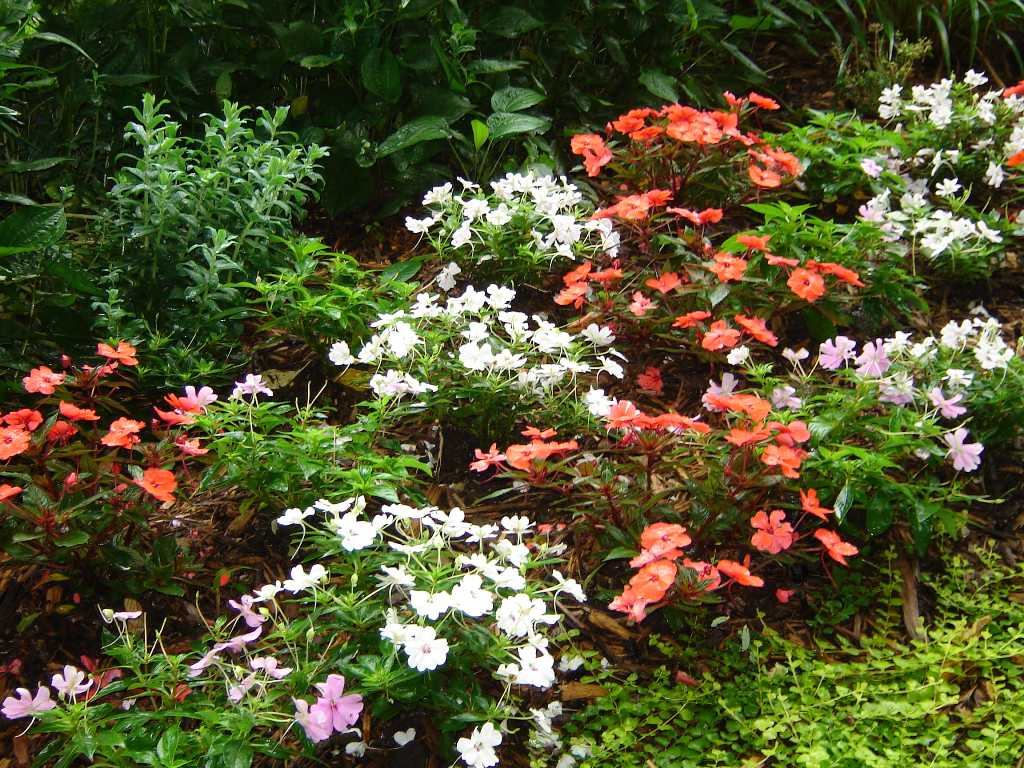 Impatiens for Shade Requires Patience and New Varieties