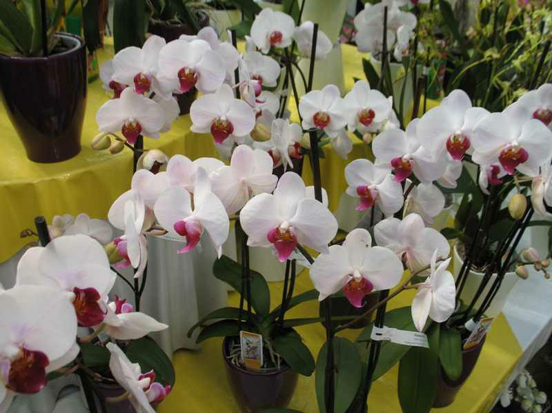 How to Repot a Moth Orchid Demonstration