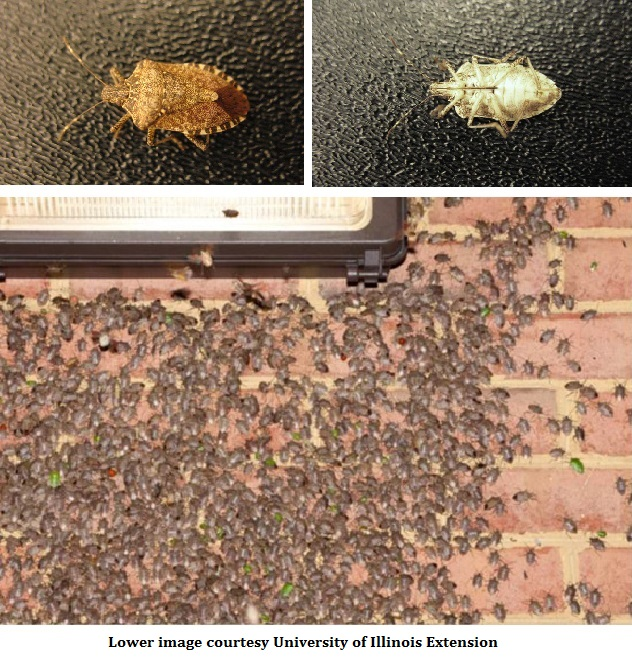 How To Get Rid Of Those Pesky Brown Marmorated Stink Bugs In