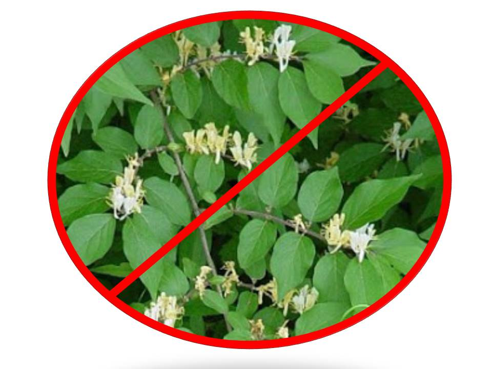 Honeysuckle Sweep for Healthy Habitat – Volunteer to Hack the Invader in a Park Near You!