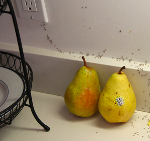 Ants in the Kitchen? We Can Help! - News from the EarthWays Center