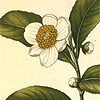 Camellia, plant from which we get tea