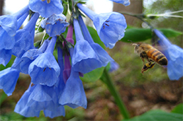 Virginia bluebells and bee