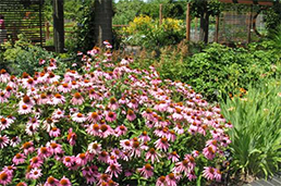coneflowers in Kemper Center garden