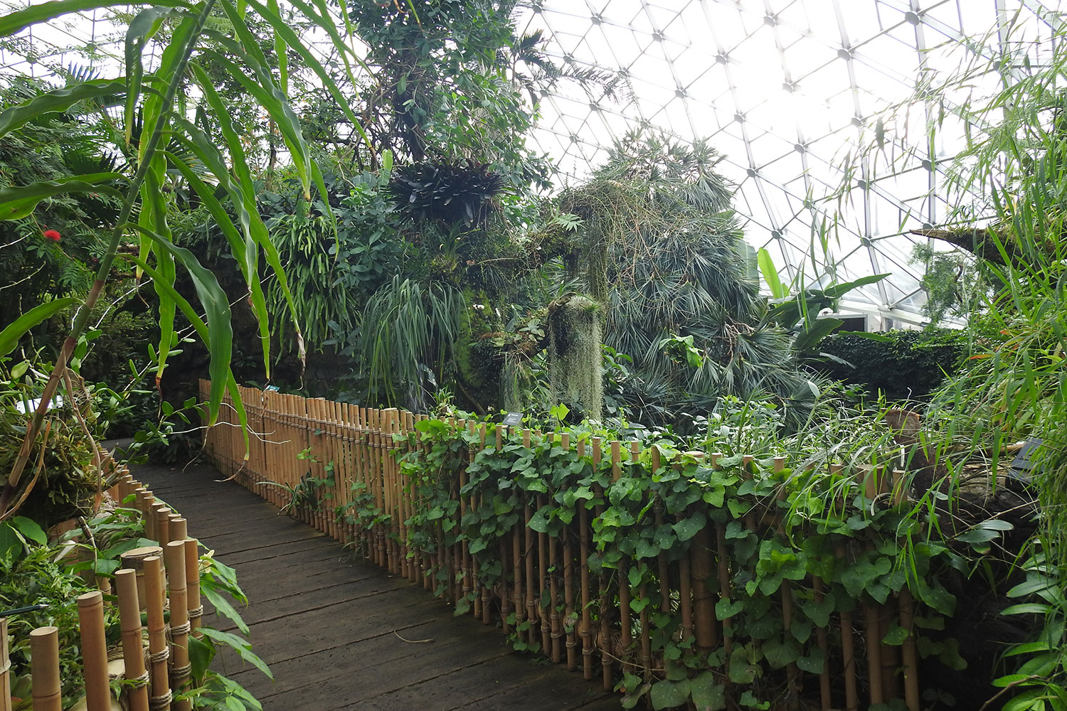 Climatron conservatory interior with bamboo bridge in foreground, surrounded by lush, tropical foliage and the hexagonal glass dome above