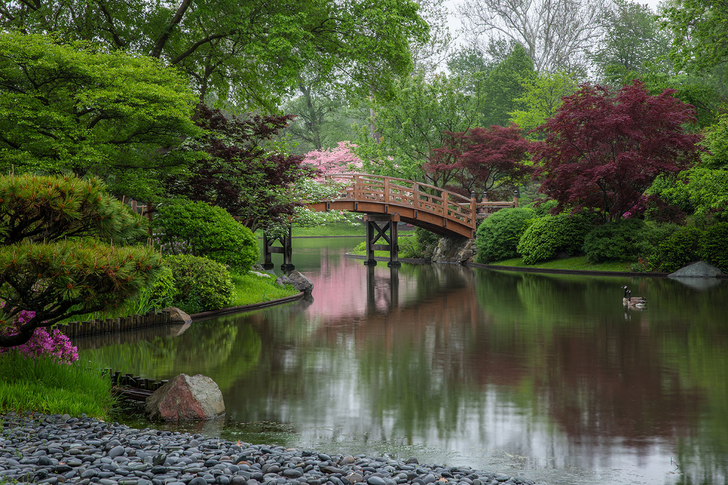 view from pebble beach of arching Japanese Garden bridge with pink blossoms in the background