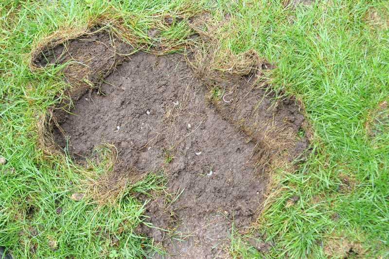Lawn Problems: Zoysia Grass