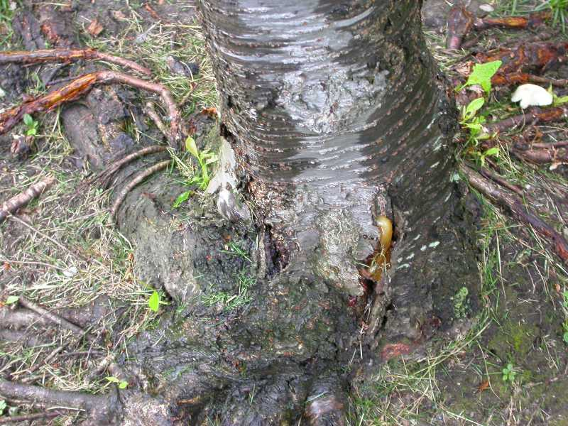 Weeping Cherry Tree Diseases Pictures
