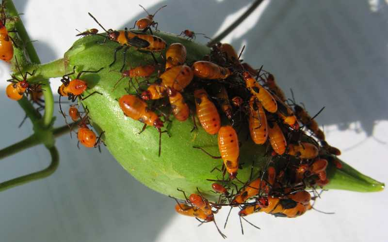 Small Milkweed Bug Infestation