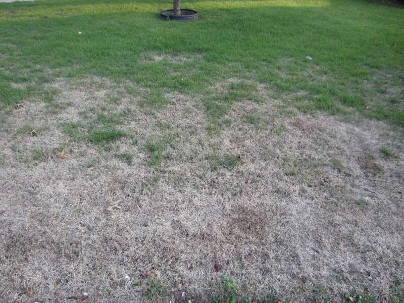 Best Lawn Fertilizer >> Lawn Problems: Zoysia Grass