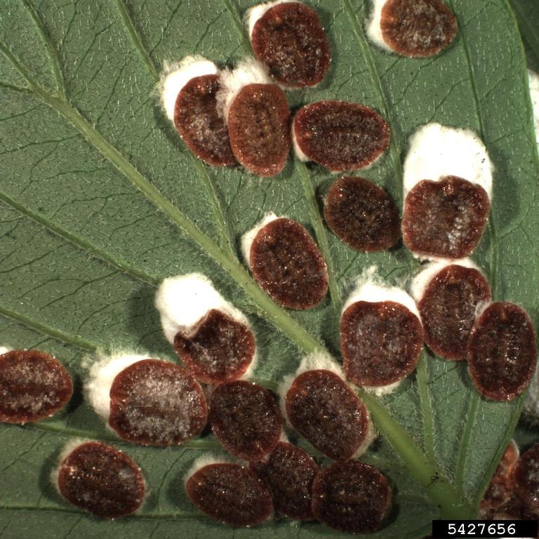 how to stop scale insects on plants