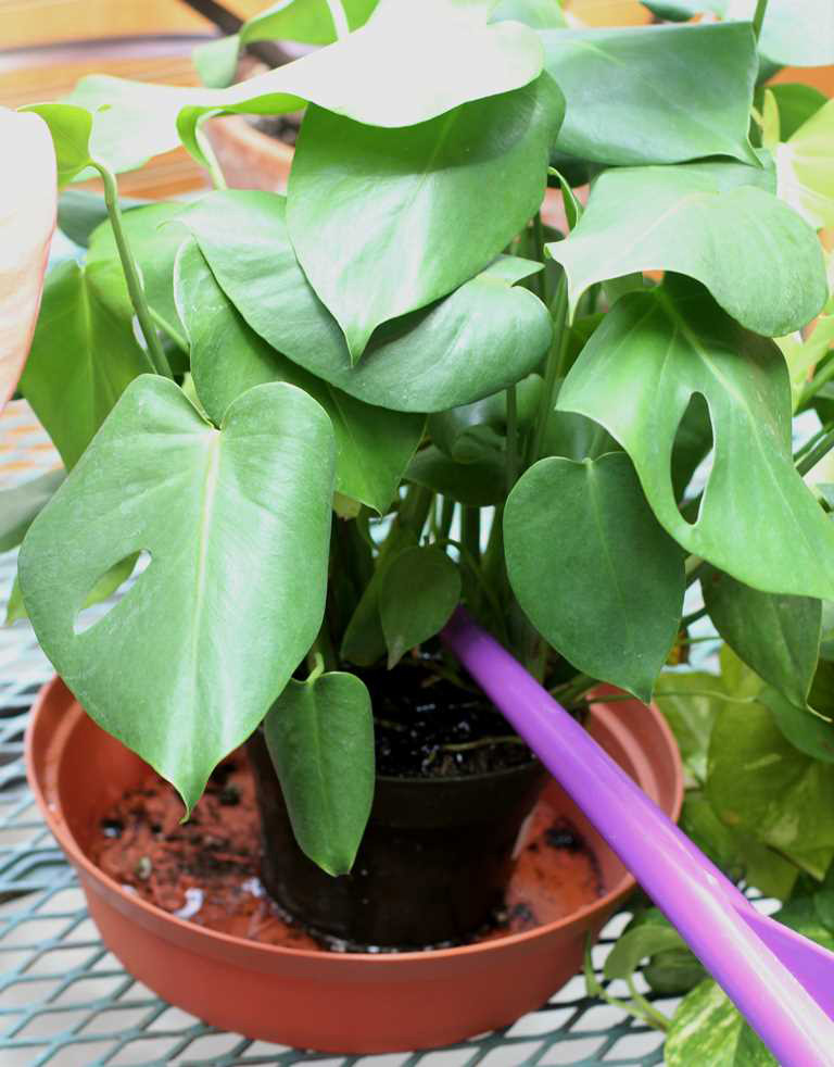 How to Water Indoor Plants