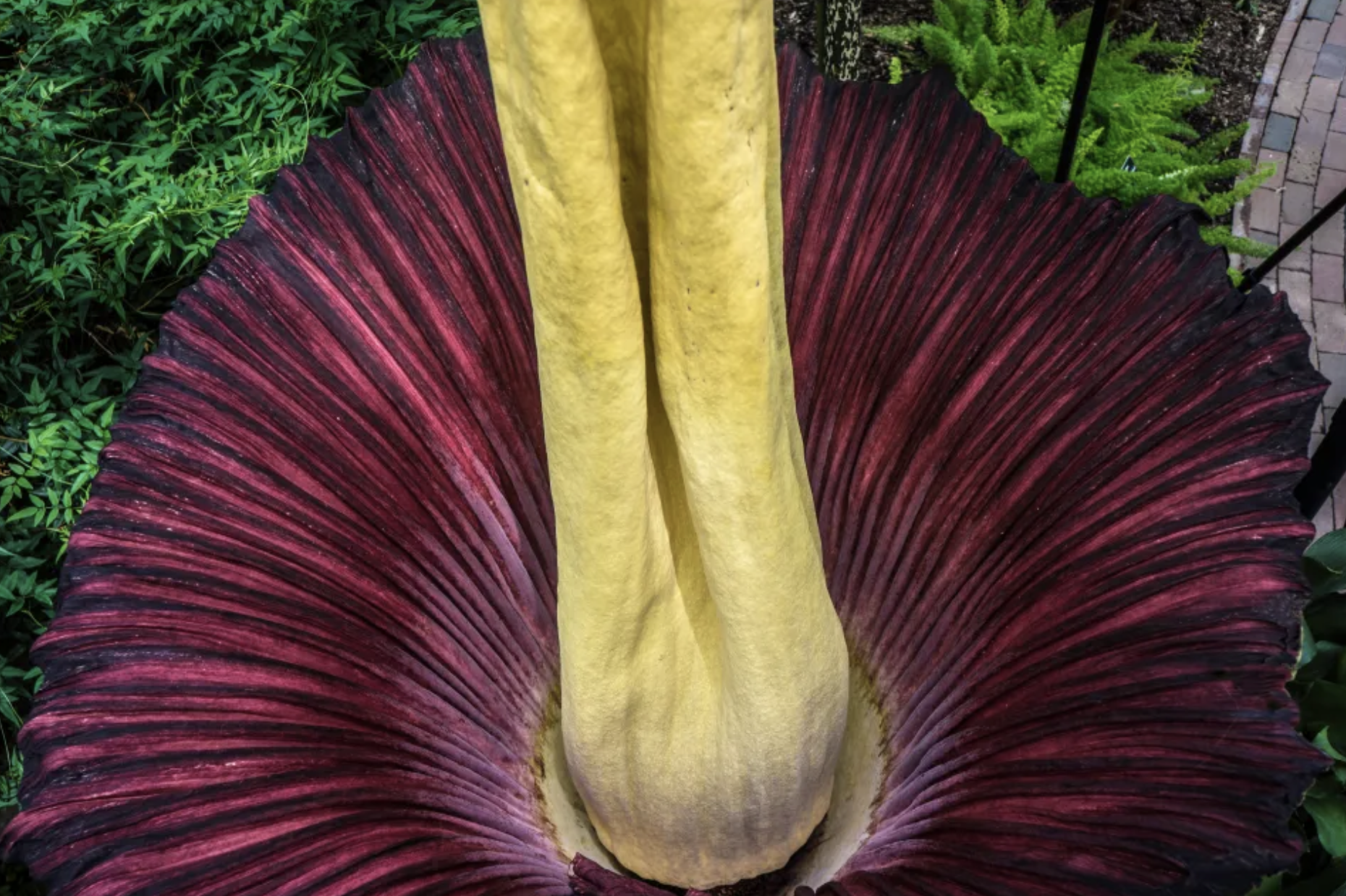close up of corpse flower interior