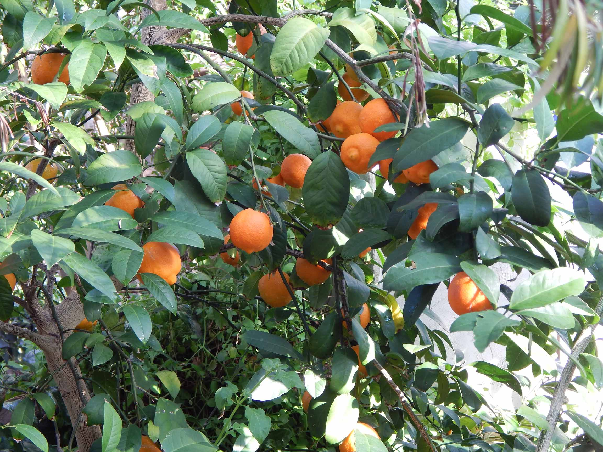 Otaheite orange