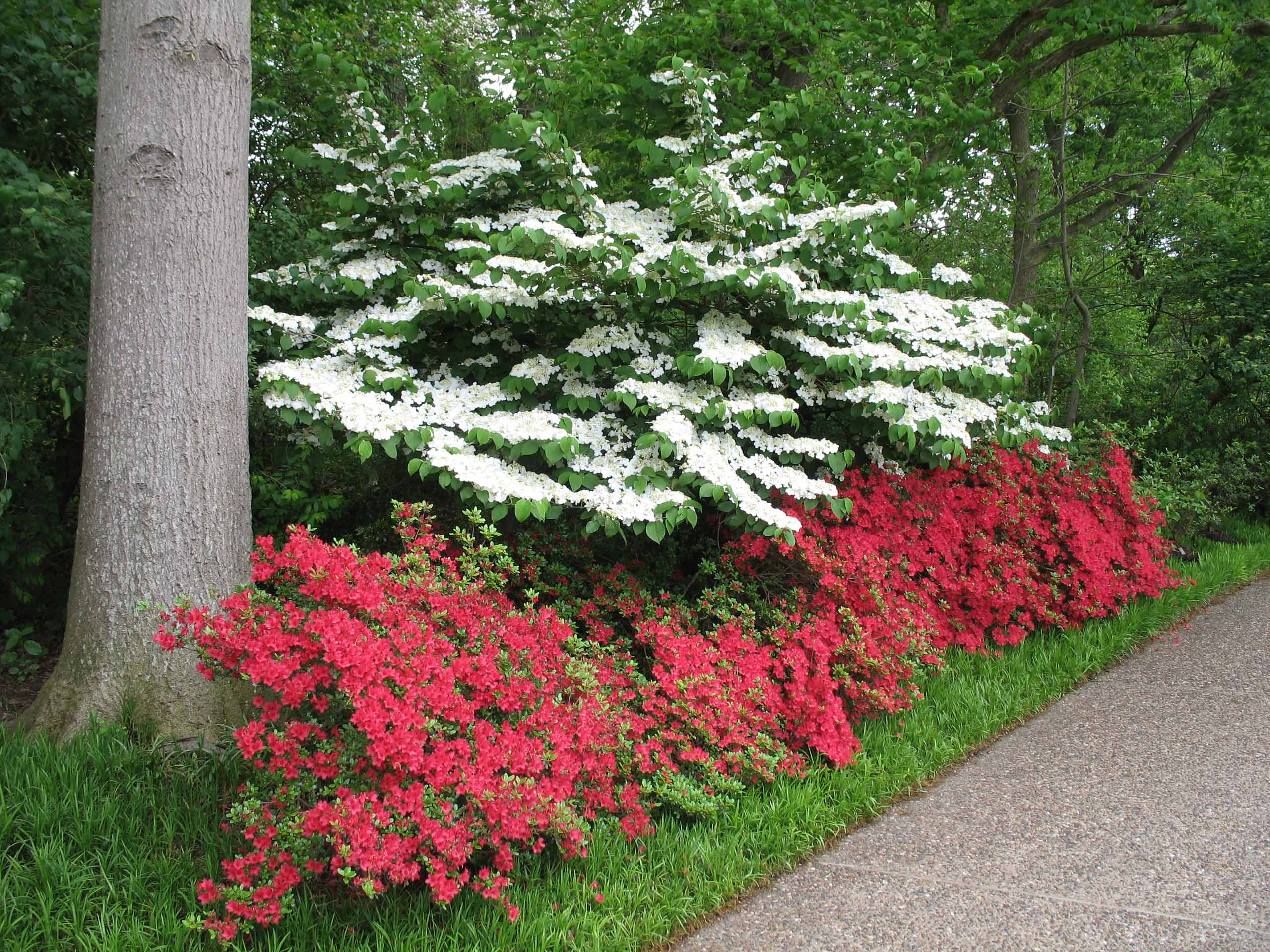 Viburnum and Azalea