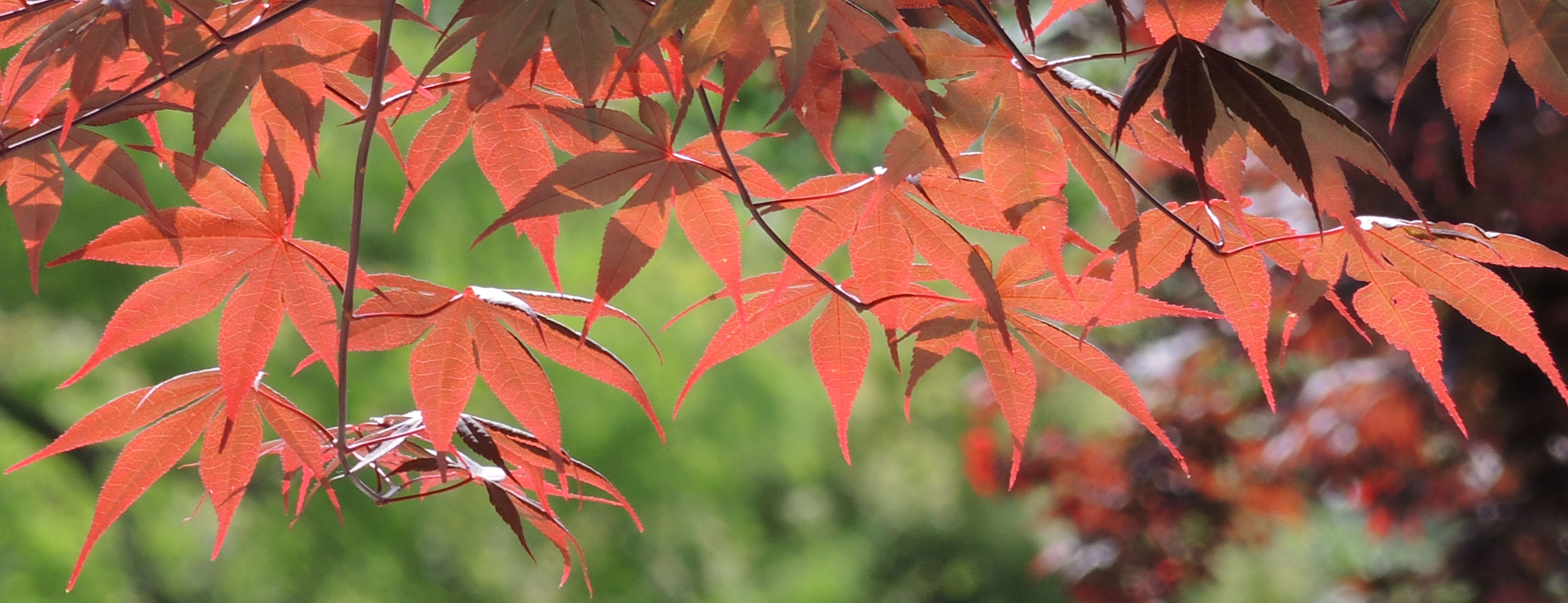 Acer in fall