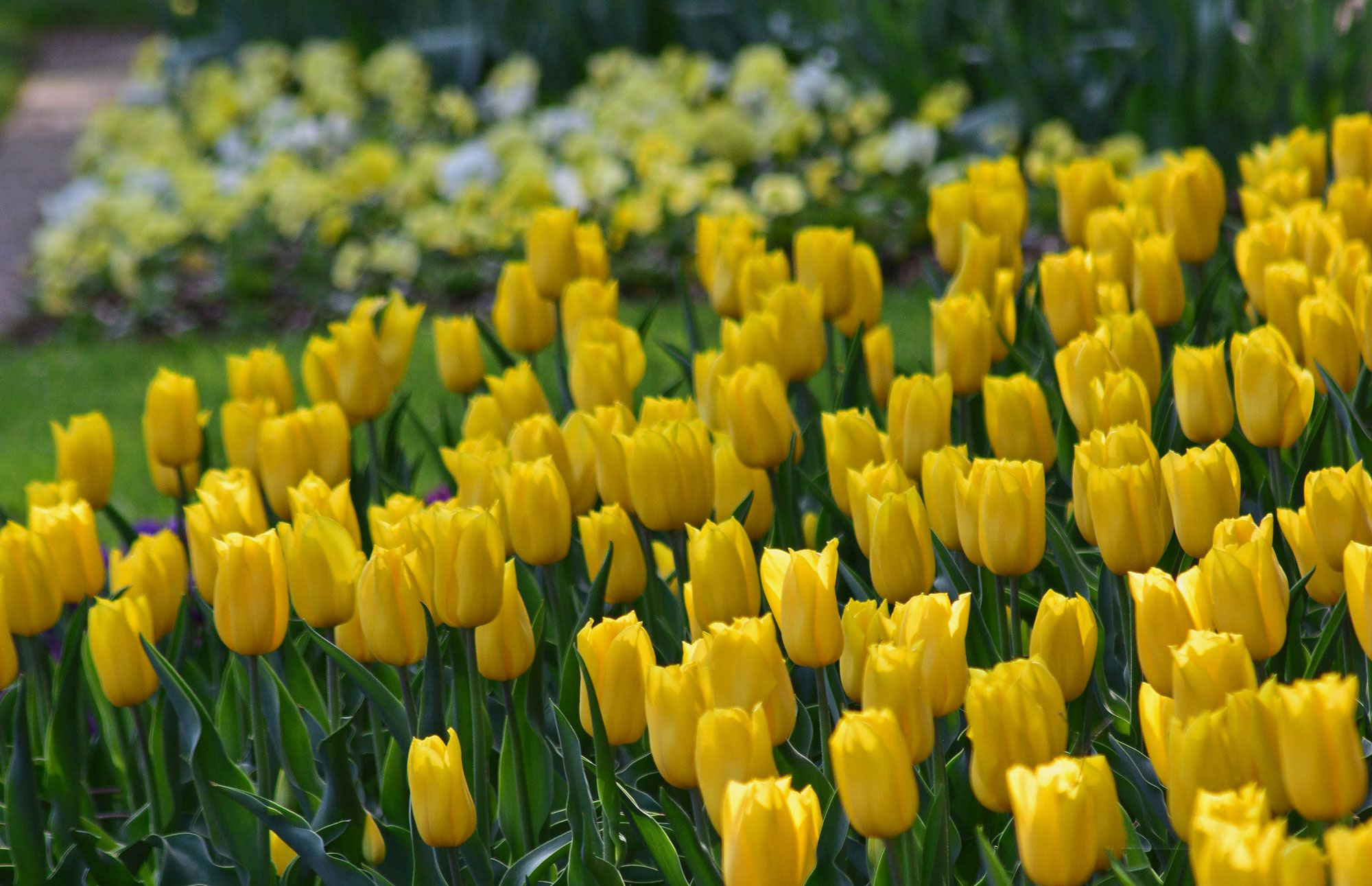 Dozens of yellow tulips protruding from garden bed