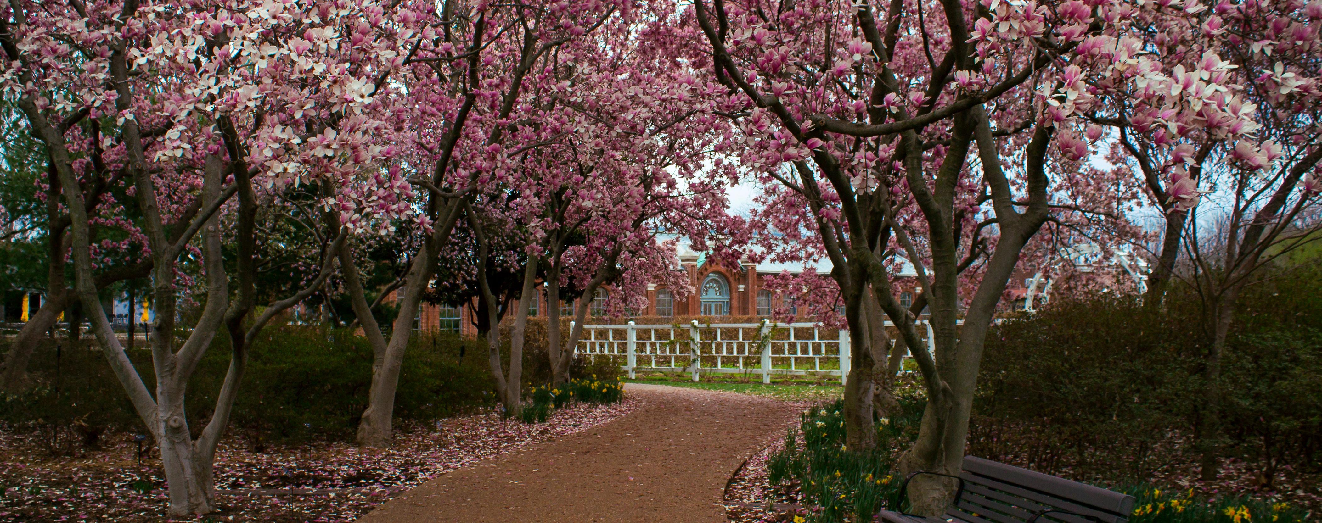 magnolia walk with falling magnolia petals