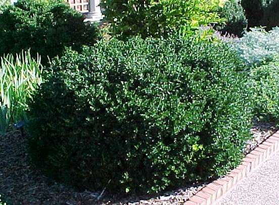 Shrubs for oklahoma gardens for Low maintenance bushes for shade