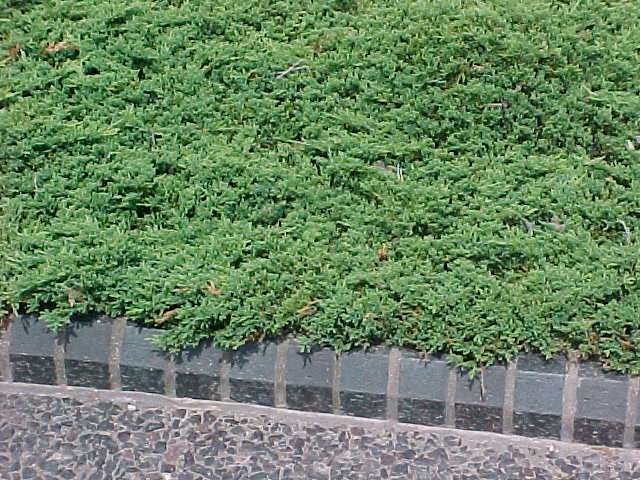 Best shrubs for Best low growing groundcover for full sun
