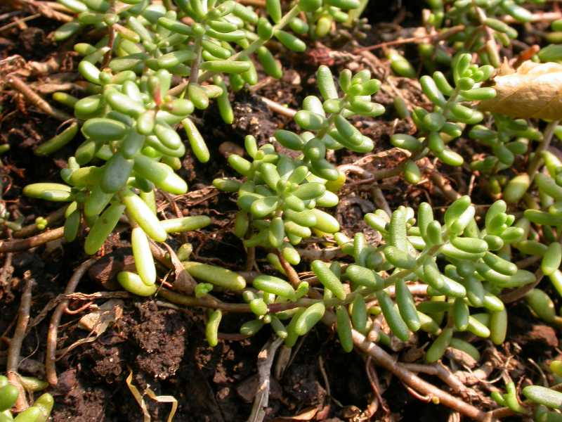 Best perennials and ornamental grasses - Sedum album coral carpet ...