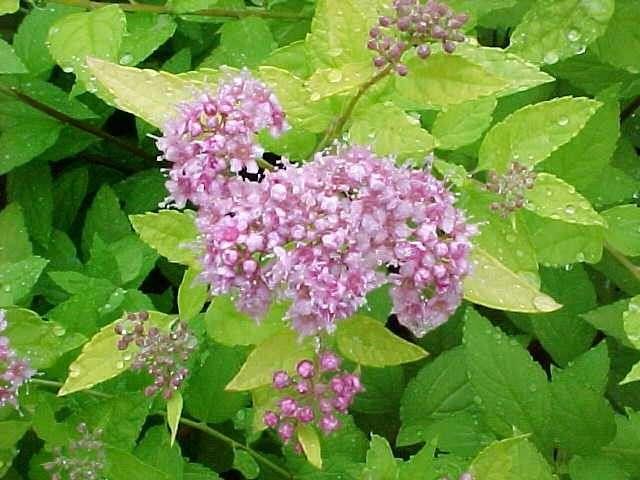 Best shrubs for Small flowering shrubs for full sun