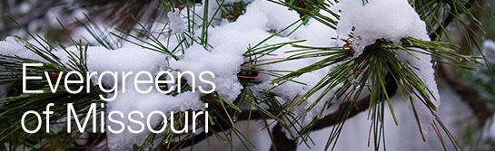 Evergreen needles in snow