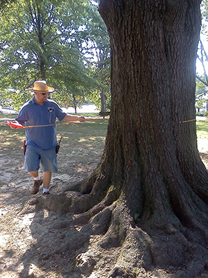 Man measuring circumference of a tree