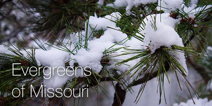 Evergreens of Missouri