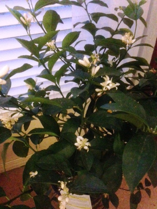 The Pleasures of Growing Citus Indoors