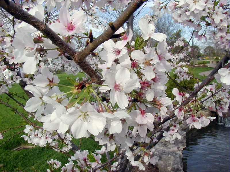 Did you know that Flowering Cherry Trees.....?