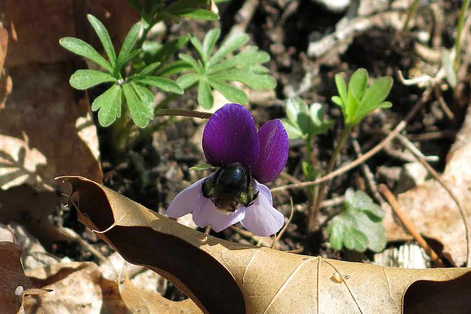 Garden Research Associates Discover Bees Prefer Warm Violets in Cool Forests