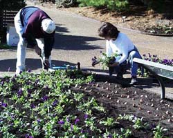 Placing bulbs and pansies