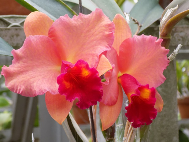 Cattleya Final Touch 'Newberry' 2