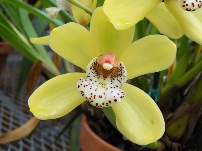 Cymbidium Red Back 'Solid Gold' 2