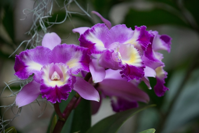 Orchid - Cattleya Aqua-Finn 'Prism Magic'