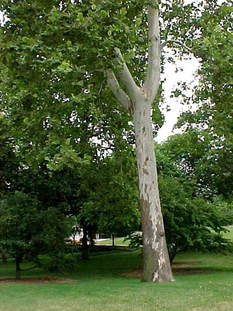 how to make ceder edge grow low branches