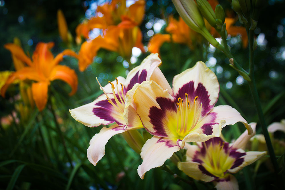 Daylily Moonlit Masquerade