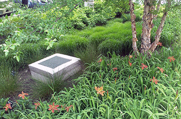 Native plants in bioretention area